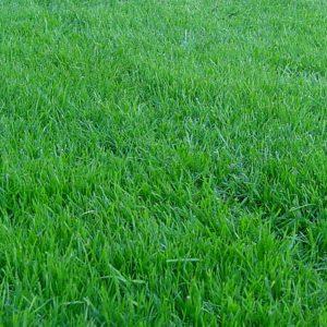 Газонная трава Мятик луговой Геронимо 20
