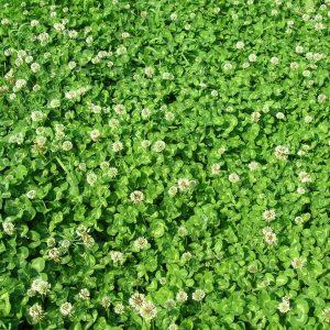 Газонная трава Клевер белый ползучий Ривендел 25